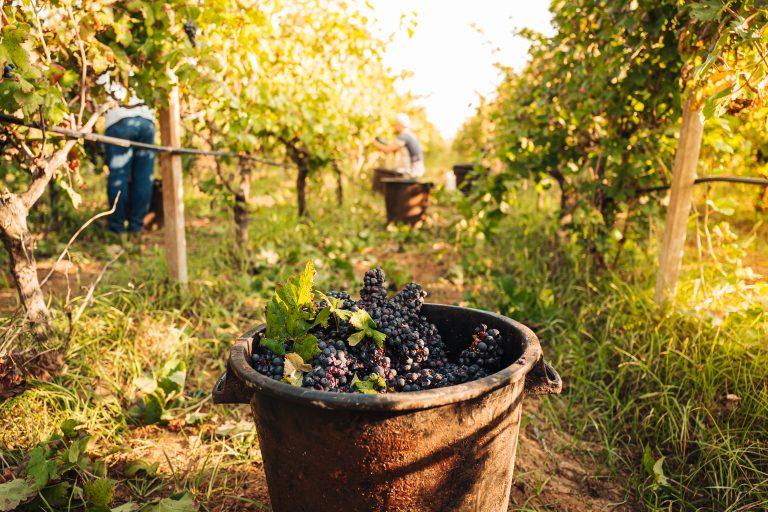 September, seasonal harvesting of Primitivo grapes in the vineyard